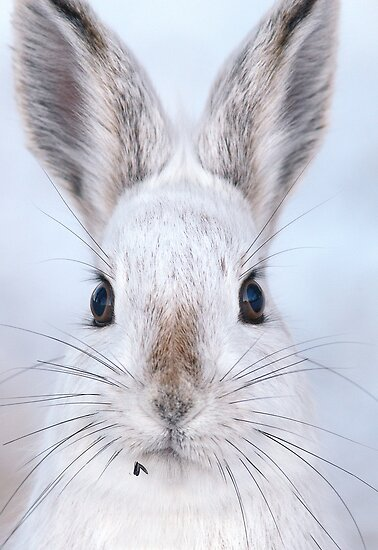 A Mad Hare Day / Snowshoe Hare by Gary Fairhead