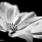 Cosmos in black and white. by Justine Gordon