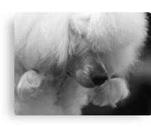 White Poodle Canvas Print