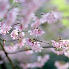 sakura by Marianna Tankelevich