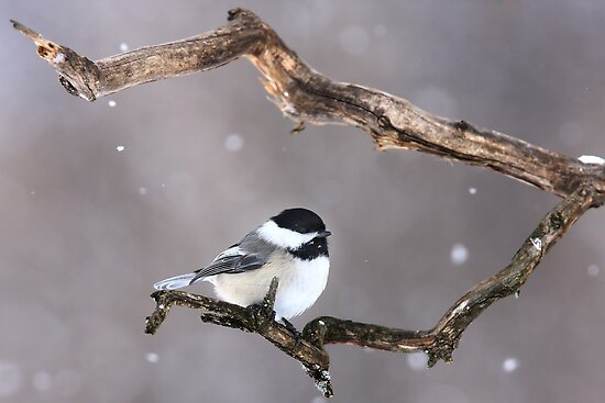 Black-capped Chickadee by Jim Cumming