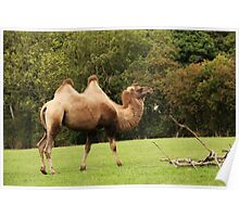 Got the hump hump Poster