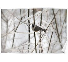 tufted titmouse ~ whatcha got to eat around here? Poster