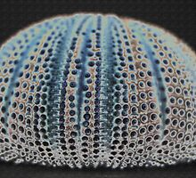 Sea Urchin Shell by RebeccaBlackman