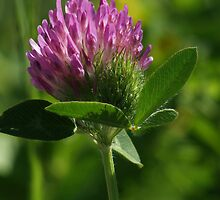 Red Clover by Ted Widen