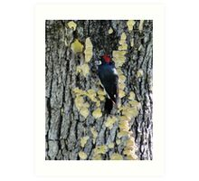 Inverted Red-breasted sapsucker in Sulfur Shelf fungi Art Print