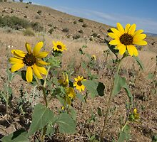 Yellow Desert Flowers - Arizona and Utah by akrolith