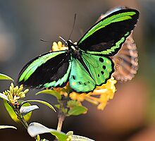 Male Cairns Birdwing by Judy Grant