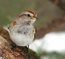 My Favorite Sparrow (American Tree Sparrow) by Robert Miesner