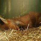Sleeping Fox by AnnDixon