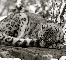 Zoe the snow leopard.  by garrethevans