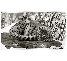 Zoe the snow leopard.  Poster
