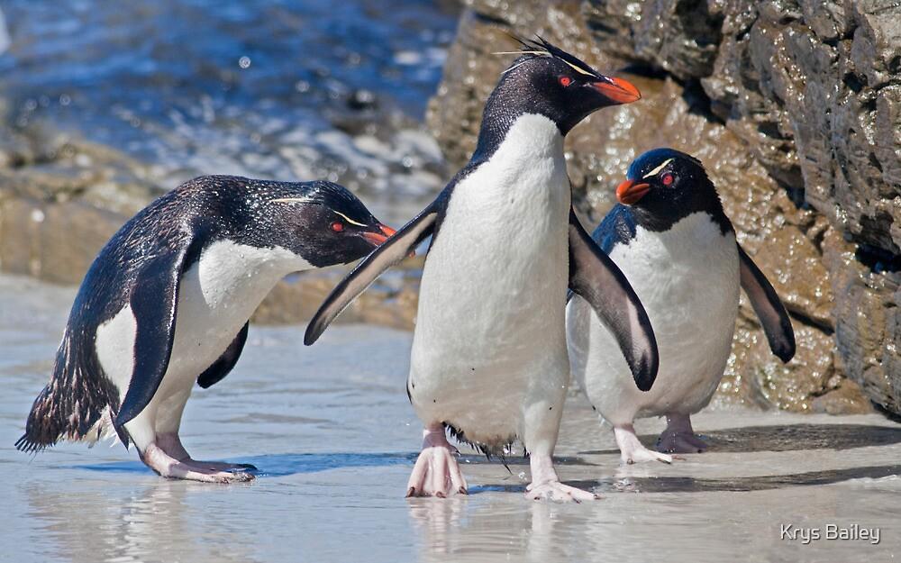 The Rocky Horror Show (Rockhopper Penguins, Falklands) by Krys Bailey