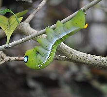 Hawk Moth Caterpillar by Dorothy Thomson