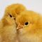 Cute Chicks by Peter Stone