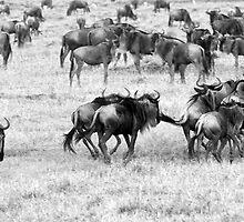 Wildebeest Stampede by Lin-Ann Anantharachagan