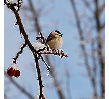 chickadee on ice Photographic Print