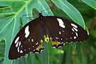 Female Cairns Birdwing - Ornithoptera euphorion by Lepidoptera