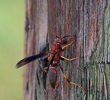 Brown wasp gathering fibers by Ben Waggoner