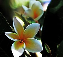 Frangipani #3 by Evita