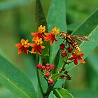 Yellow wasp on Scarlet Milkweed by Ben Waggoner