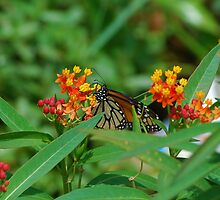 Monarch sipping nectar by Ben Waggoner