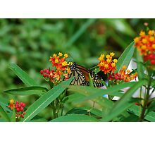 Monarch sipping nectar Photographic Print
