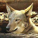 Red Wolf ~ Always Alert by AuntDot