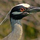 Night heron by jozi1