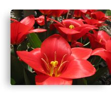 Tulipa  Series 1 Canvas Print