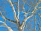 American Sycamore (Platanus occidentalis) Tree by MotherNature