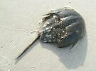 Horseshoe Crab (Limulus polyphemus) by MotherNature