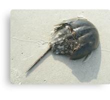 Horseshoe Crab (Limulus polyphemus) Canvas Print