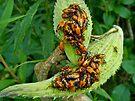 Milkweed Bug (Oncopeltus fasciatus) - Nymphs by MotherNature