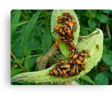 Milkweed Bug (Oncopeltus fasciatus) - Nymphs Canvas Print