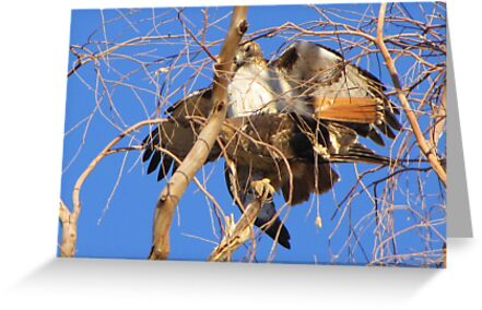 Red-tailed Hawks ~ Paired and Procreating....... by Kimberly Chadwick