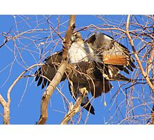 Red-tailed Hawks ~ Paired and Procreating....... Photographic Print