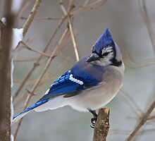 BlueJay by JBendeth
