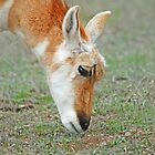 Antelope feed by Rodney55