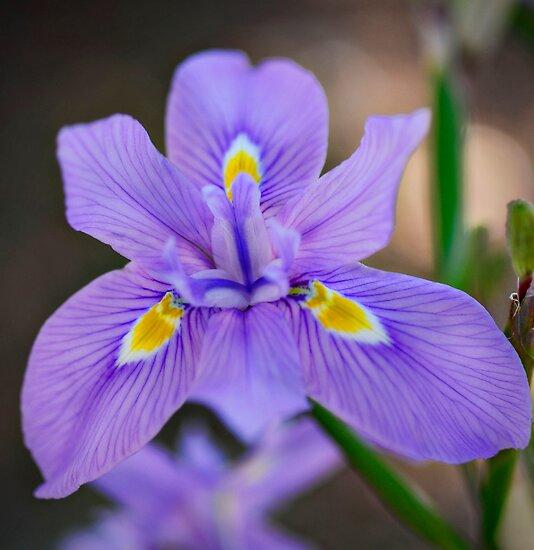 African Iris by Saija  Lehtonen