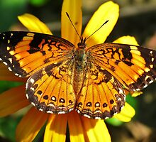 Pearl Crescent on Blackeyed Susan by Ron Russell