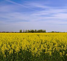 Rapeseed Field - Kent by Tony Jones