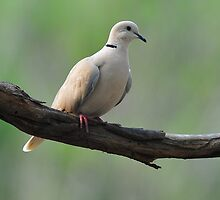 Barbary Dove - Photographed at Ulan NSW by Alwyn Simple