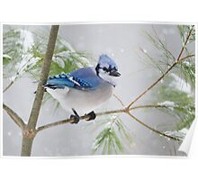 Bluejay in the snow Poster