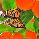 Monarch Love among the Kumquats by Ron Russell