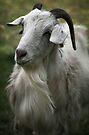 A Friendly Goat by yolanda
