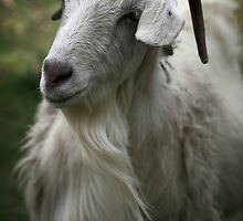 A Friendly Goat by yolanda