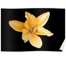 Peach Lily on Ebony Poster