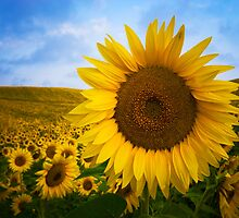 Sunflower Field in Valensole - Provence, France by Yen Baet