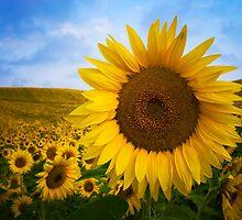 Sunflower Field in Valensole - Provence, France by Yen Baet